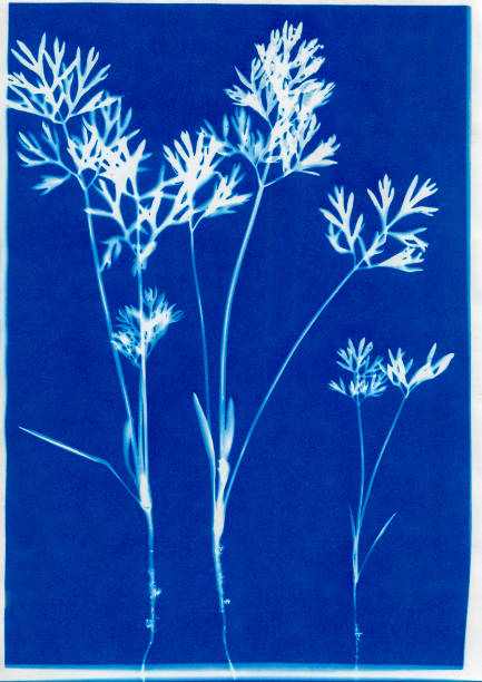 cyanotype of carrot seedlings, Daucus carota stock photo