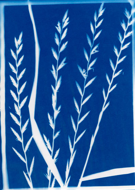 cyanotype of Italian ryegrass or annual ryegrass, Festuca perennis stock photo