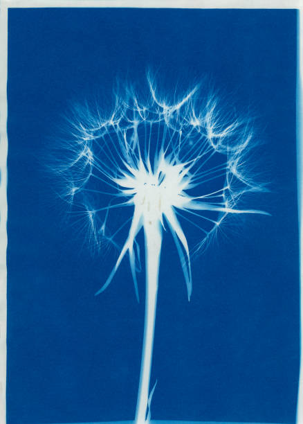 cyanotype of salsify seed head and blow stock photo
