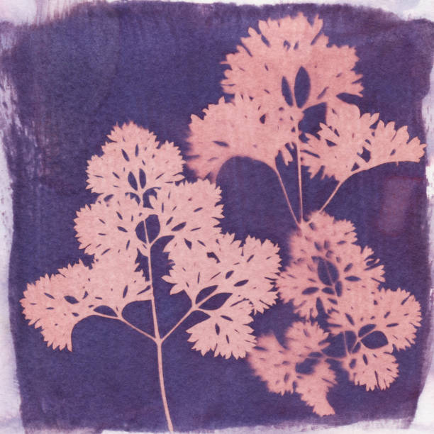 Cyanotype photo process of parsley leaves