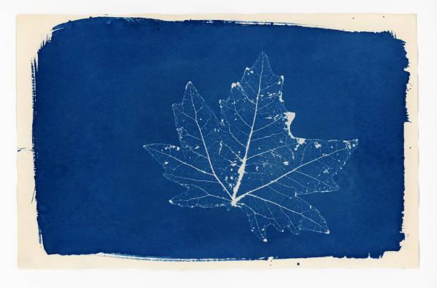 Cyanotype print of a skeleton leaf stock photo