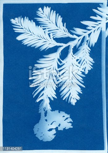 Cyanotype print of coast redwood, Sequoia sempervirens, branch and seed pods.