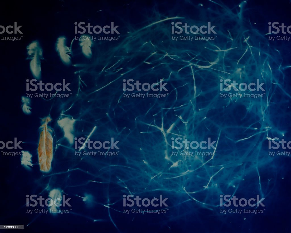 Cyanotype Sun Print Photograph of Bird Nest and Feathers stock photo