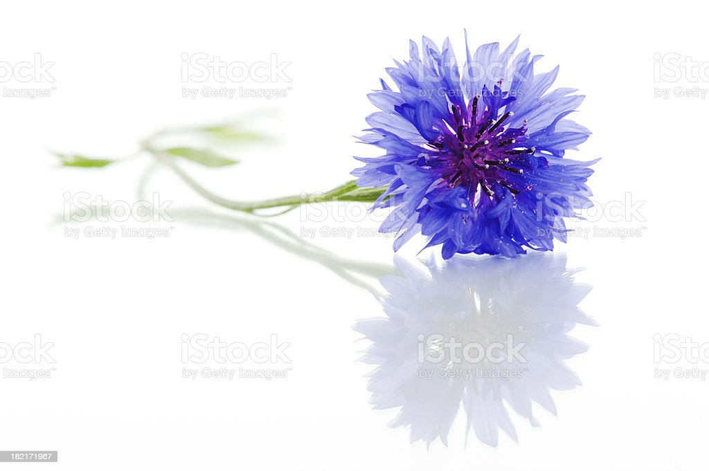 Cyanus segetum - Cornflower stock photo
