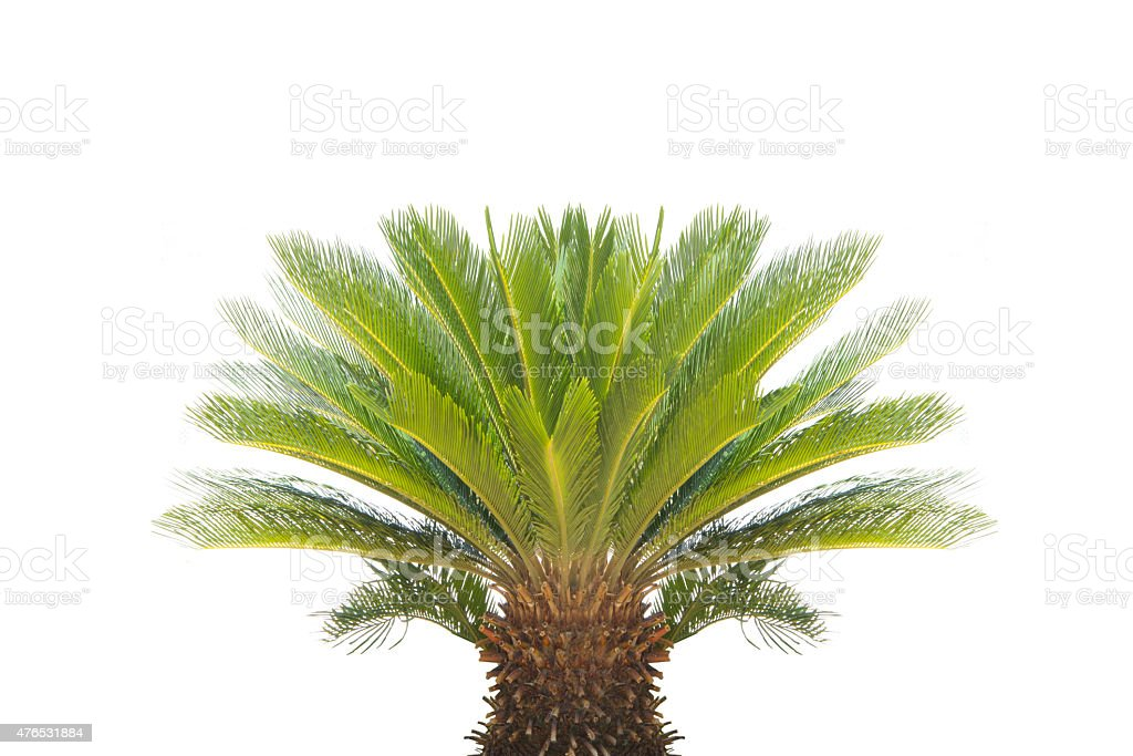 Cycad revoluta  on a white background.