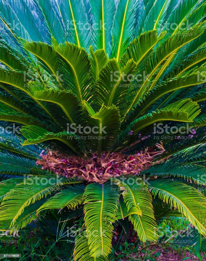 Cycas tree. green plant of Cycas Palm stock photo