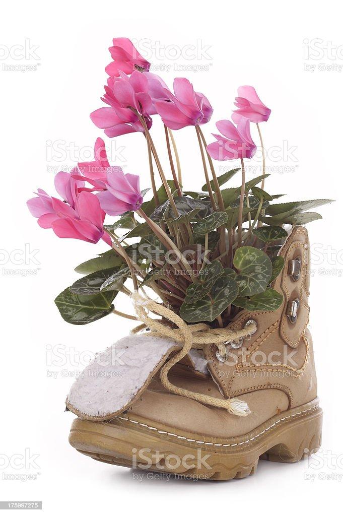 Cyclamen boot royalty-free stock photo