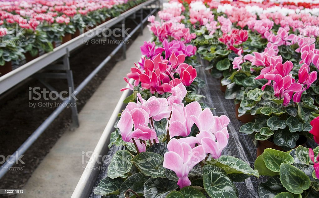 Cyclamen in a greenhouse royalty-free stock photo