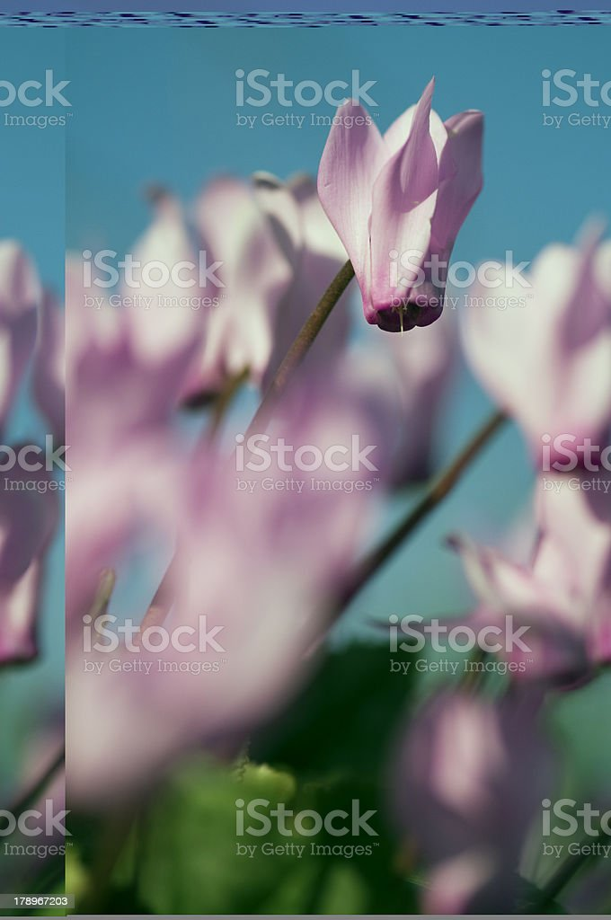 cyclamen royalty-free stock photo