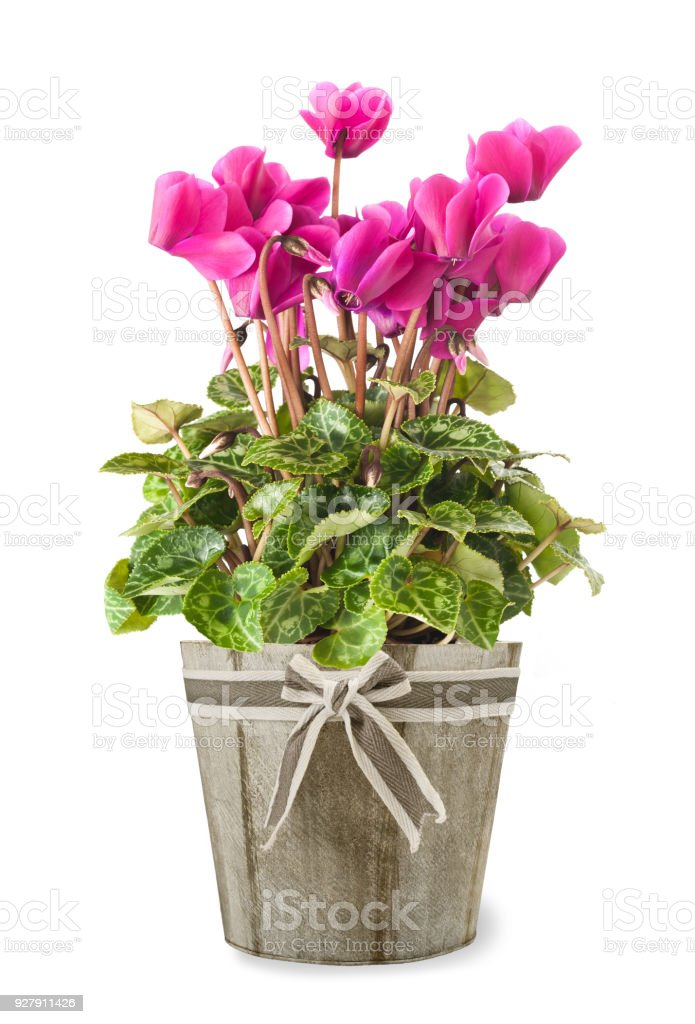 cyclamen plant in flowers stock photo