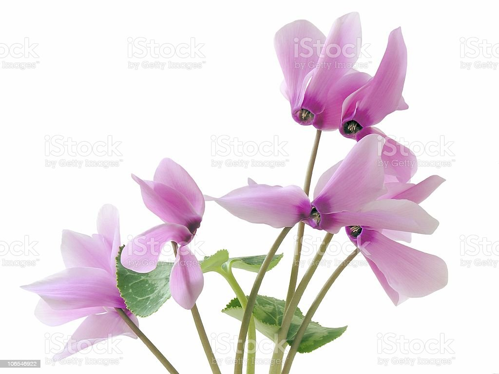 cyclamens royalty-free stock photo