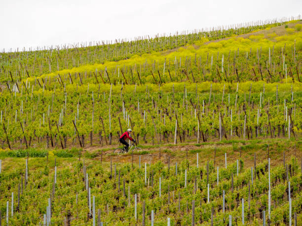 Cyclist pedals uphill along vineyards, Turckheim, France stock photo