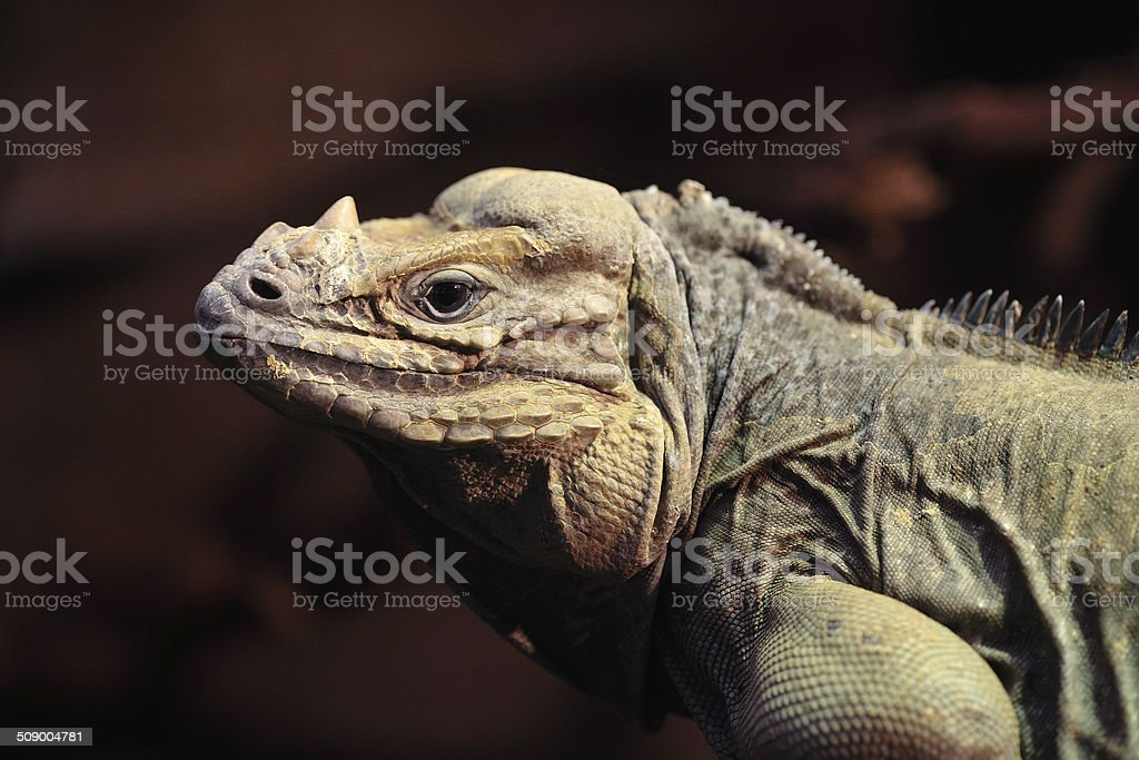 Cyclura Cornuta stock photo