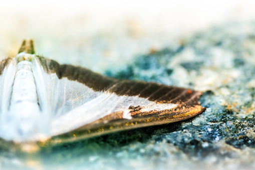 istock Cydalima Perspectalis Pyrale du Buis butterfly wing macro selective focus 610748960