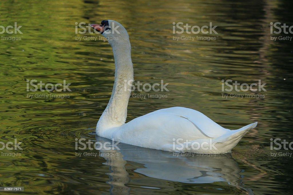 Cygne sur un lac stock photo
