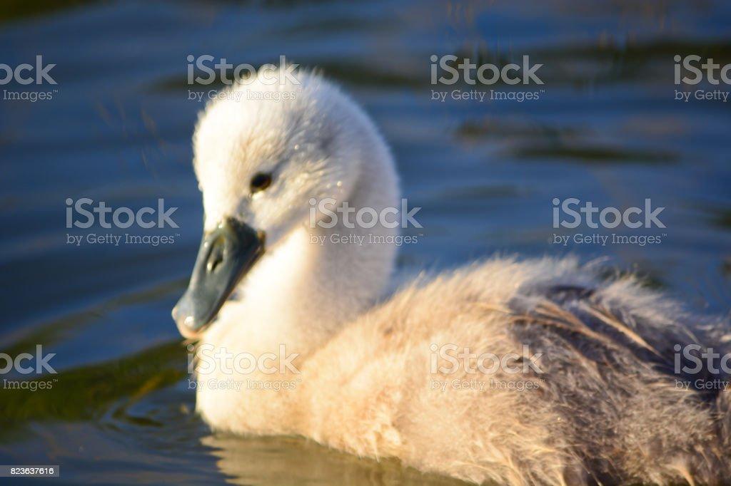 Cygnet - Baby Swan stock photo