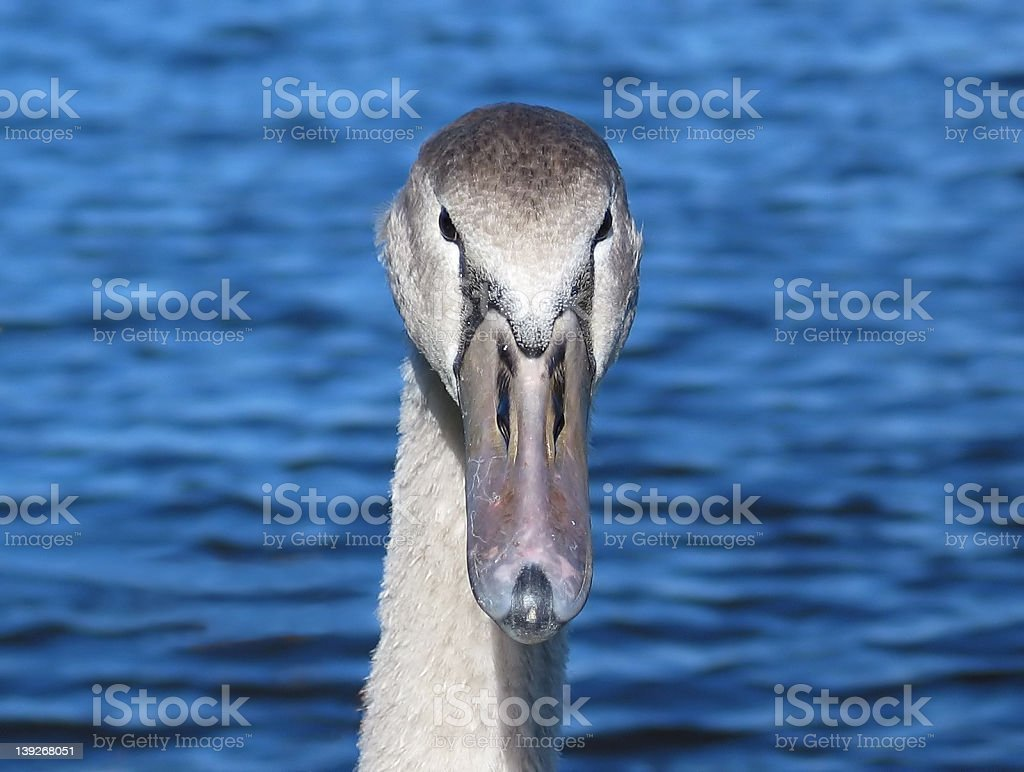Cygnet Staring at Camera royalty-free stock photo