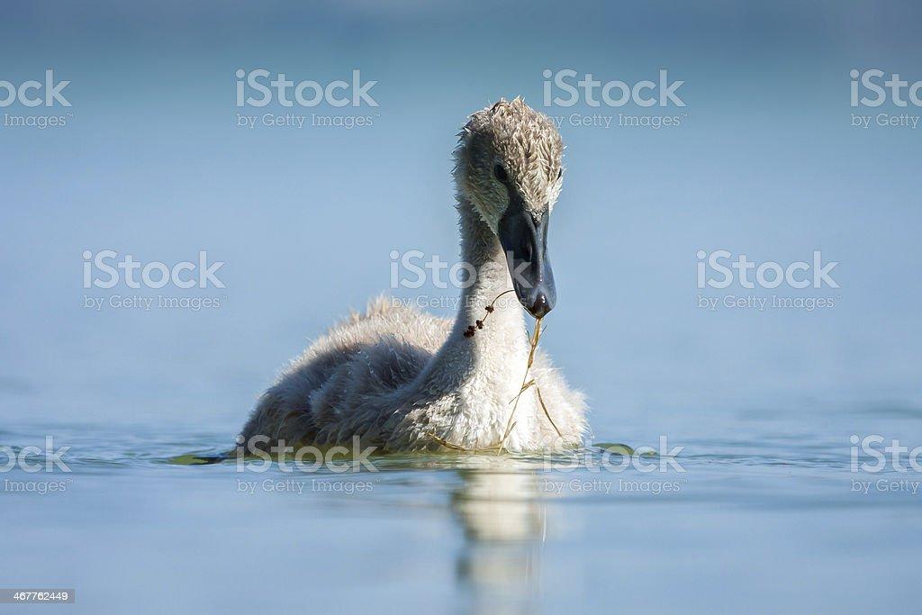 Cygnet - swan baby in blue lake. stock photo