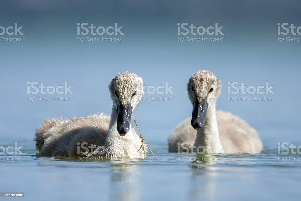 Cygnet - swan babys in blue lake. stock photo