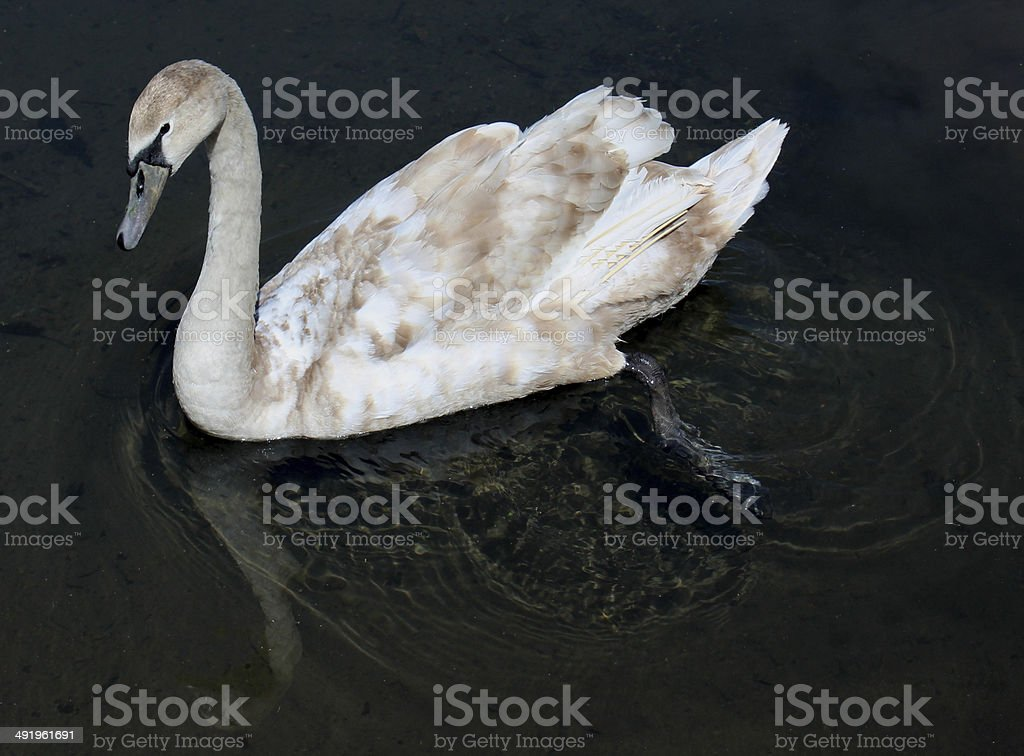 Cygnet turning into adult swan with brown and white feathers stock photo