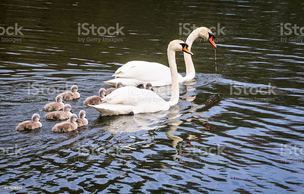 Cygnets and Swans stock photo