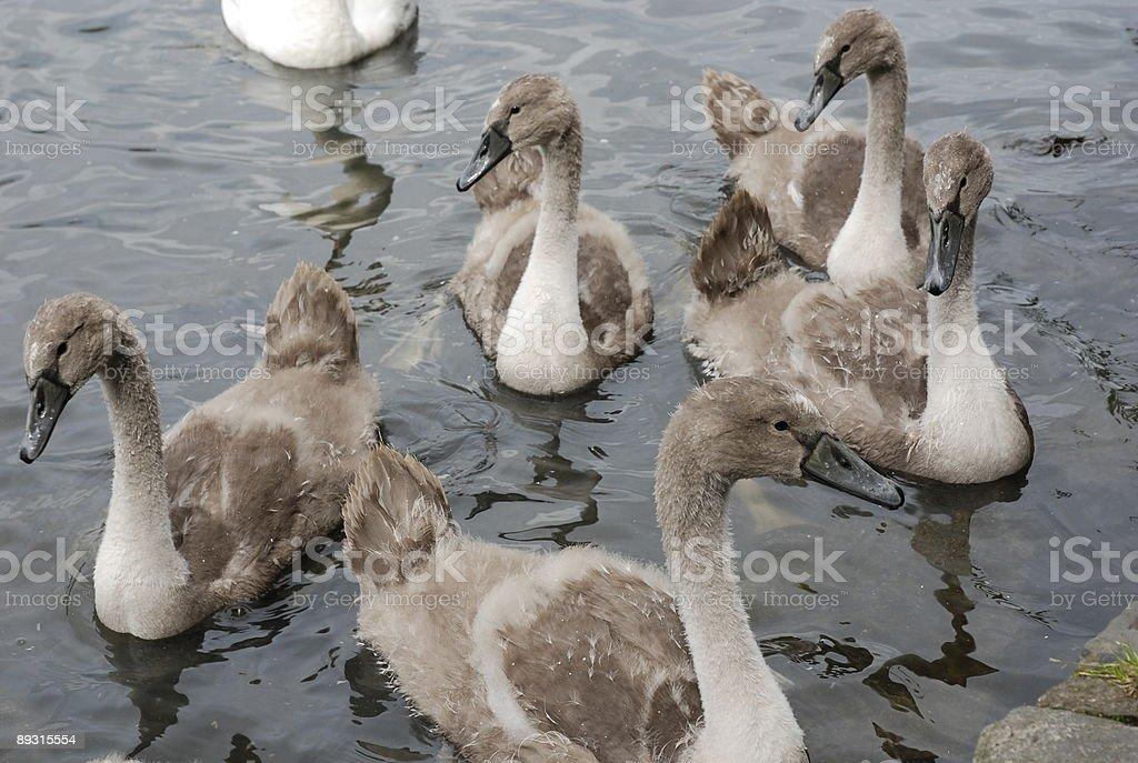Cygnets  Animal Stock Photo