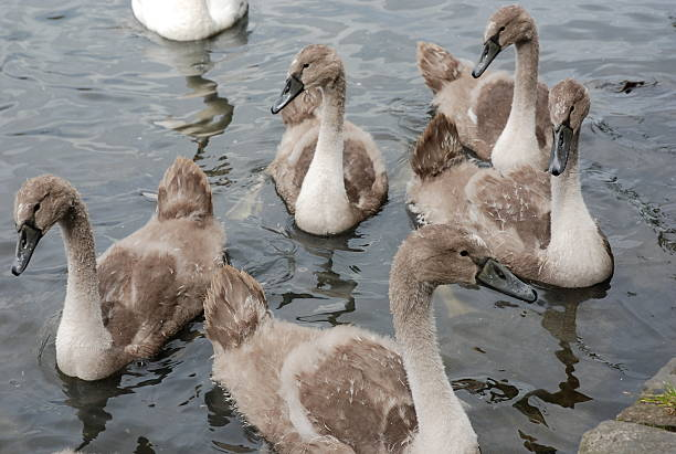 Cygnets stock photo