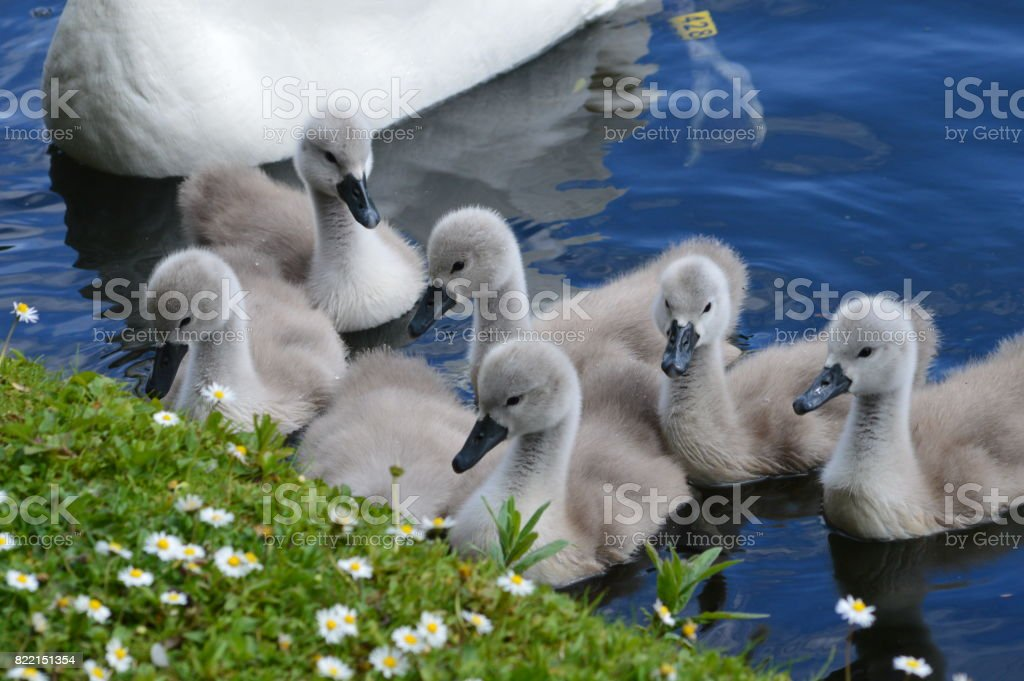cygnets with their mother stock photo