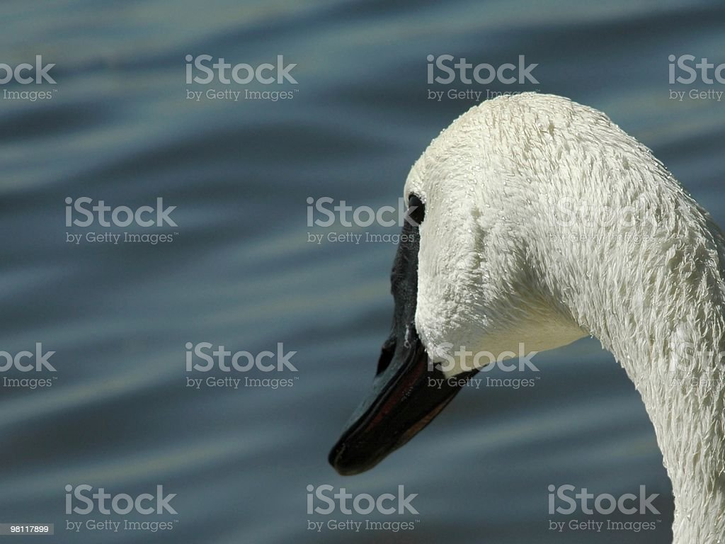 Cygnus buccinator royalty-free stock photo