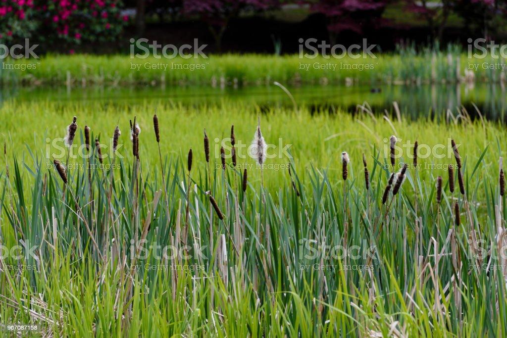 Zylindrische Blume Spikes von Binsen unter Schilfgürtel eines Sees. – Foto