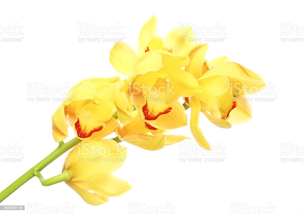 Cymbidium in a white background stock photo