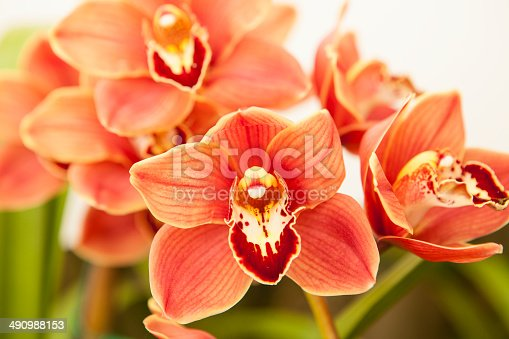 cymbidium orchid also known as