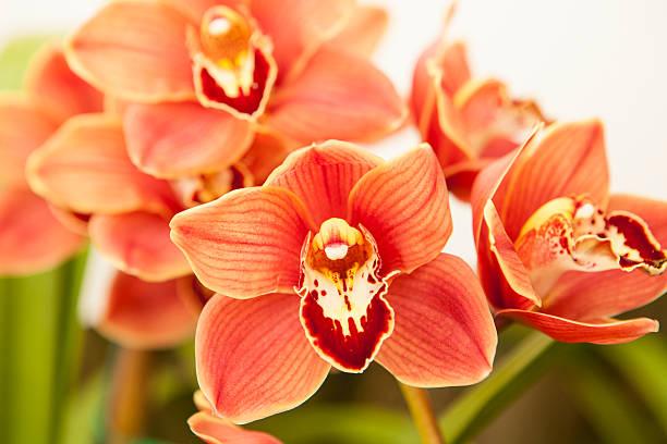 cymbidium-Orchidee – Foto