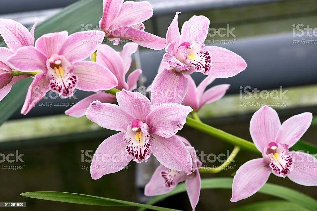 Cymbidium stock photo