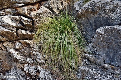 1145104190 istock photo Cymbopogon plant better known as lemongrass is growing on the way to the Formentor lighthouse 1145106537