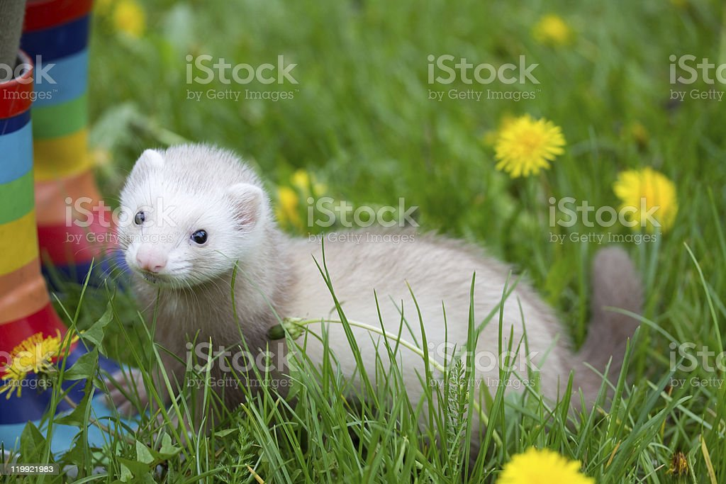 cynamon ferret stock photo