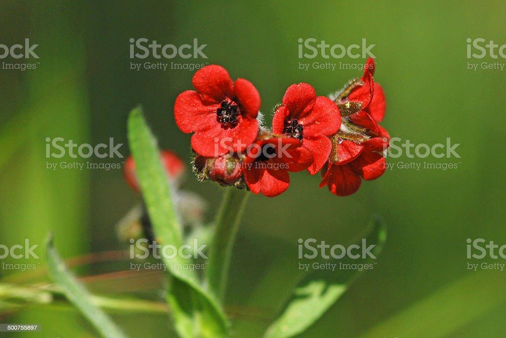 Cynoglossum montana stock photo