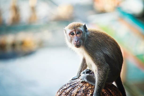 "Cynomolgus Monkey at Batu Caves, Malaysia ""Cynomolgus Monkey at Batu Caves, Malaysia"" batu caves stock pictures, royalty-free photos & images"