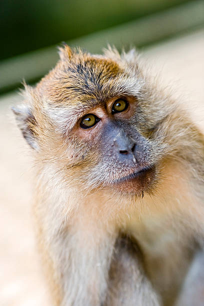 Cynomolgus Monkey (Malaysia) stock photo
