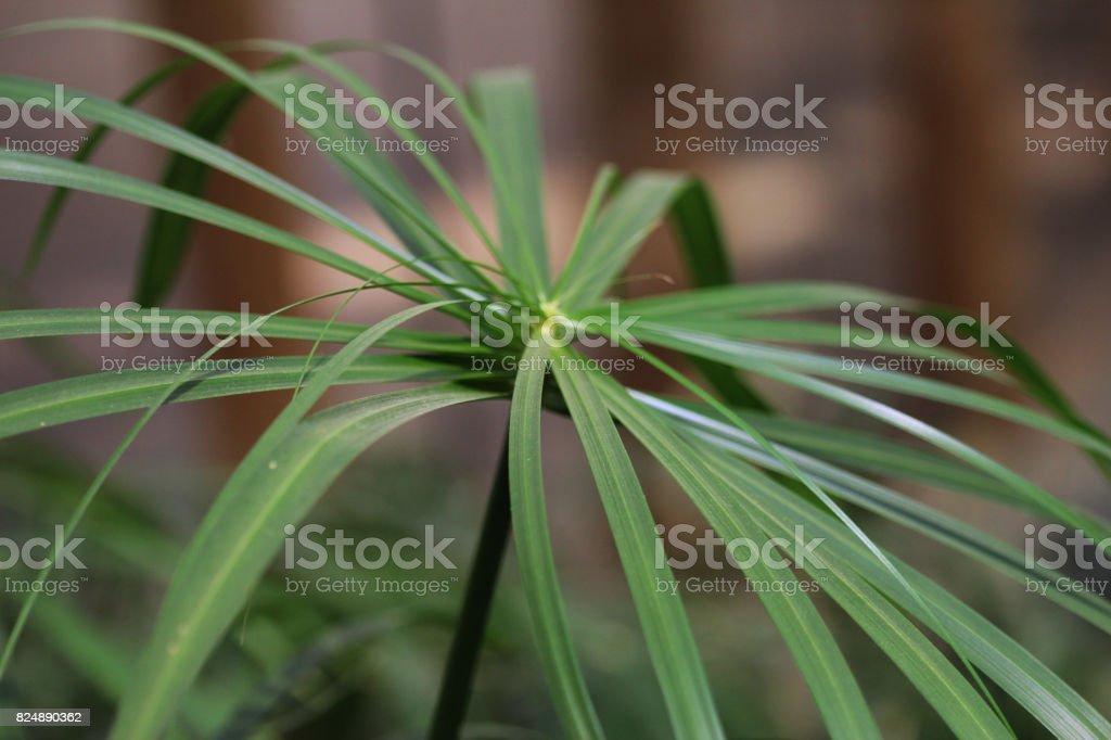 cyperus papyrus plant stock photo