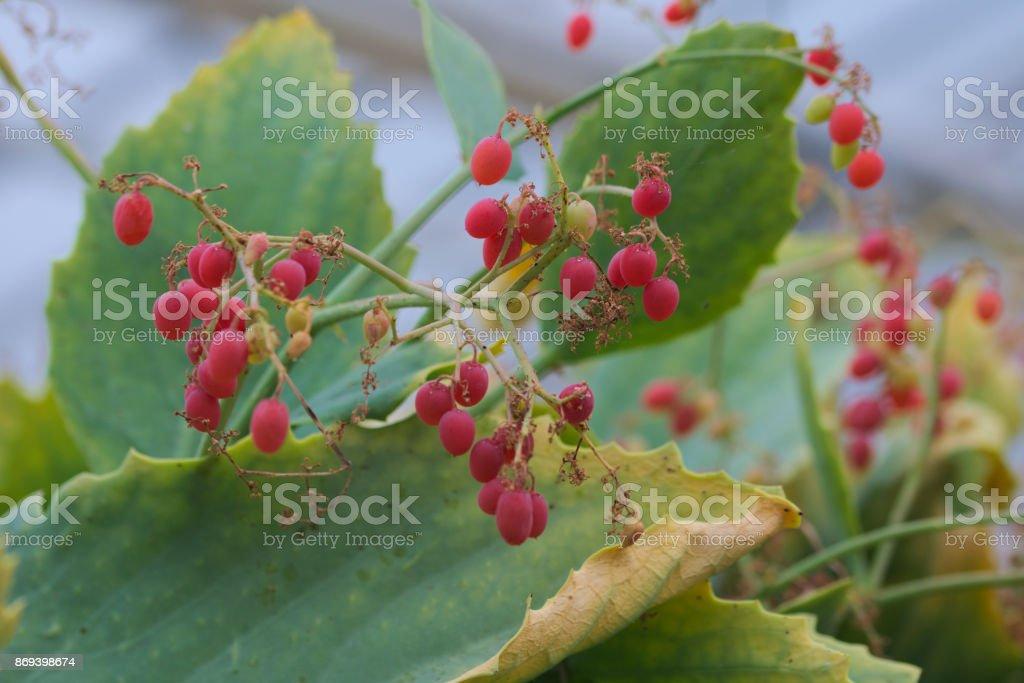 cyphostemma juliae berries stock photo