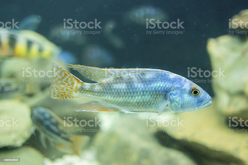 Cyphotilapia frontosa fish. stock photo