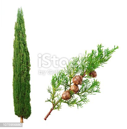 General pace of the tree and close-up on a branch carrying the cypress nuts.