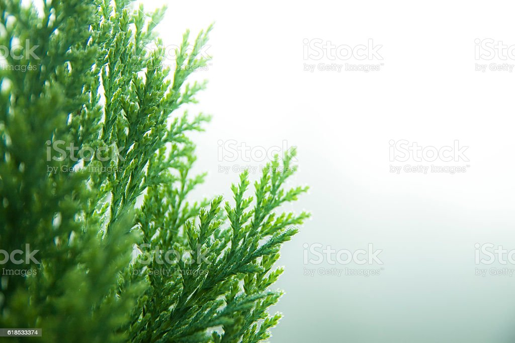 cypress background stock photo