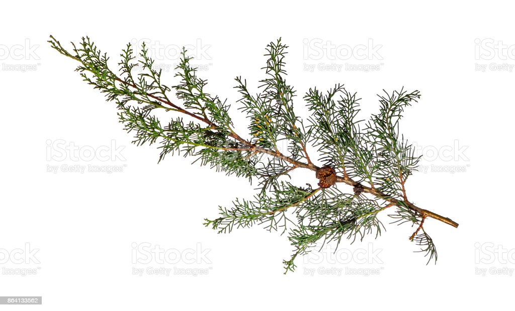 Cypress branch isolated on white royalty-free stock photo