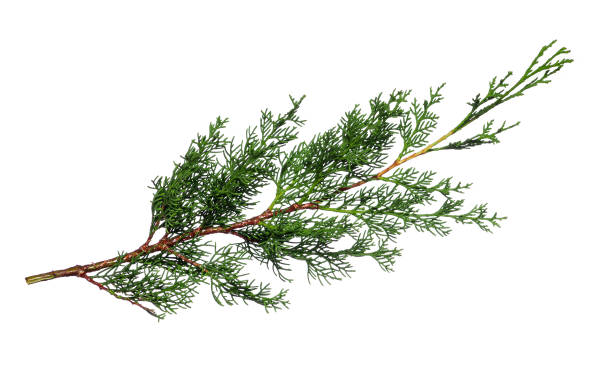 cypress branch - cypress tree stock photos and pictures