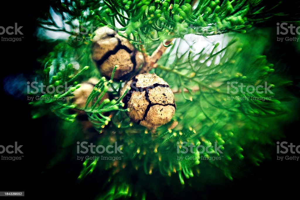 Cypress cone royalty-free stock photo