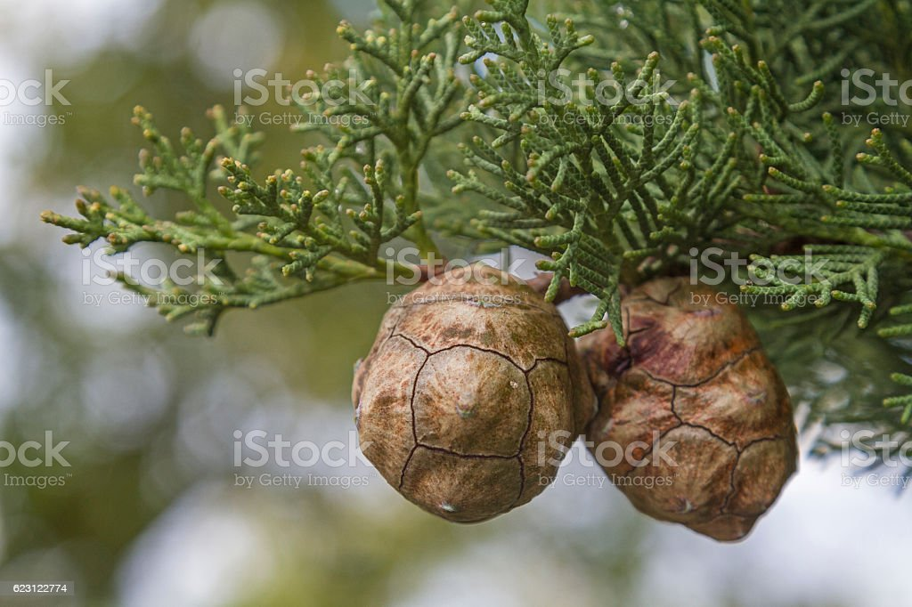 Cypress cones on the tree stock photo