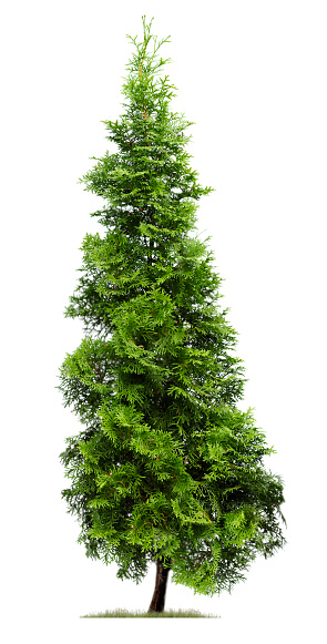 An pyramidal shaped, green Eastern Arborvitae tree or Thuja occidentalis 'Fastigiata' stands against a white sky, while a little bit of grass surrounds its base.
