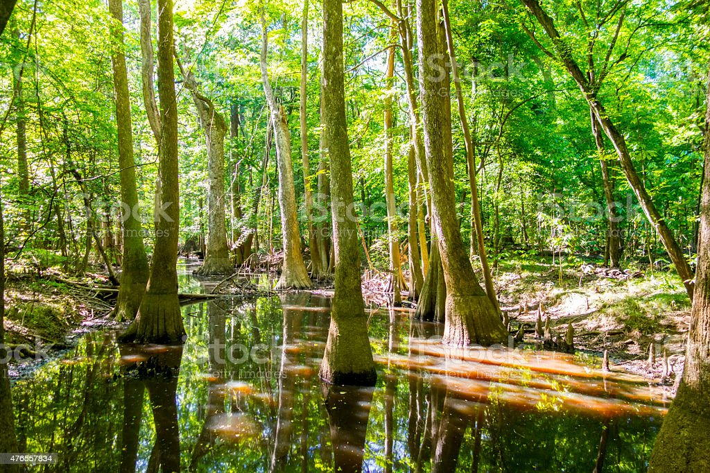 cypress forest and swamp of Congaree National Park stock photo